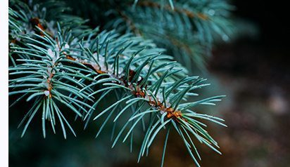 branches of an evergreen tree