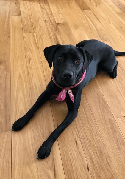 black dog on hardwood floor